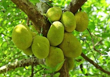 Jackfruit vleesvervanger